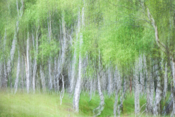 Bolehill Quarry Birch 01