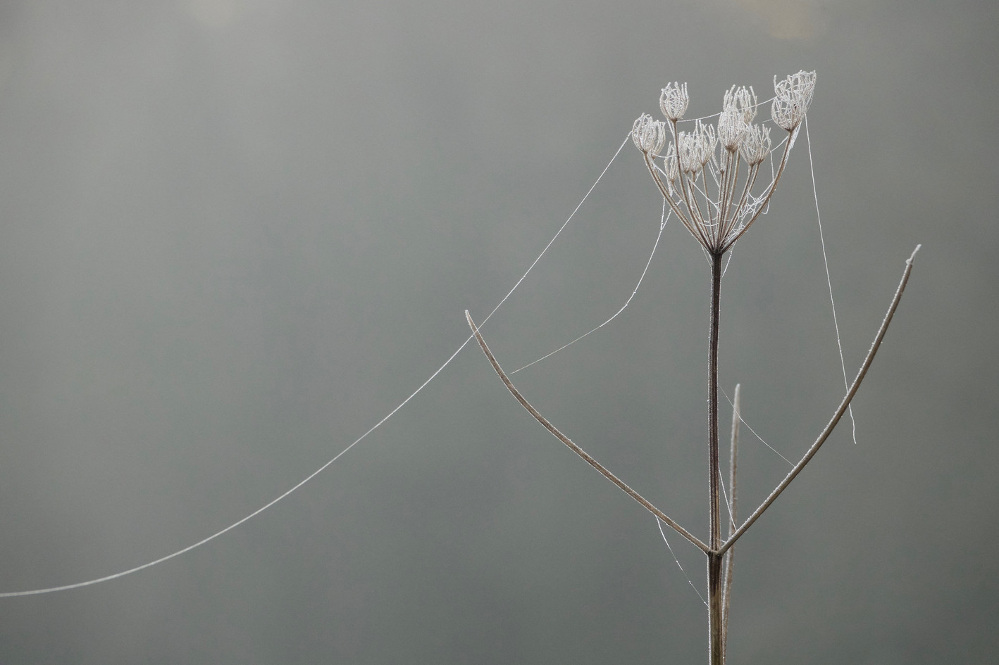Frost on seedheads