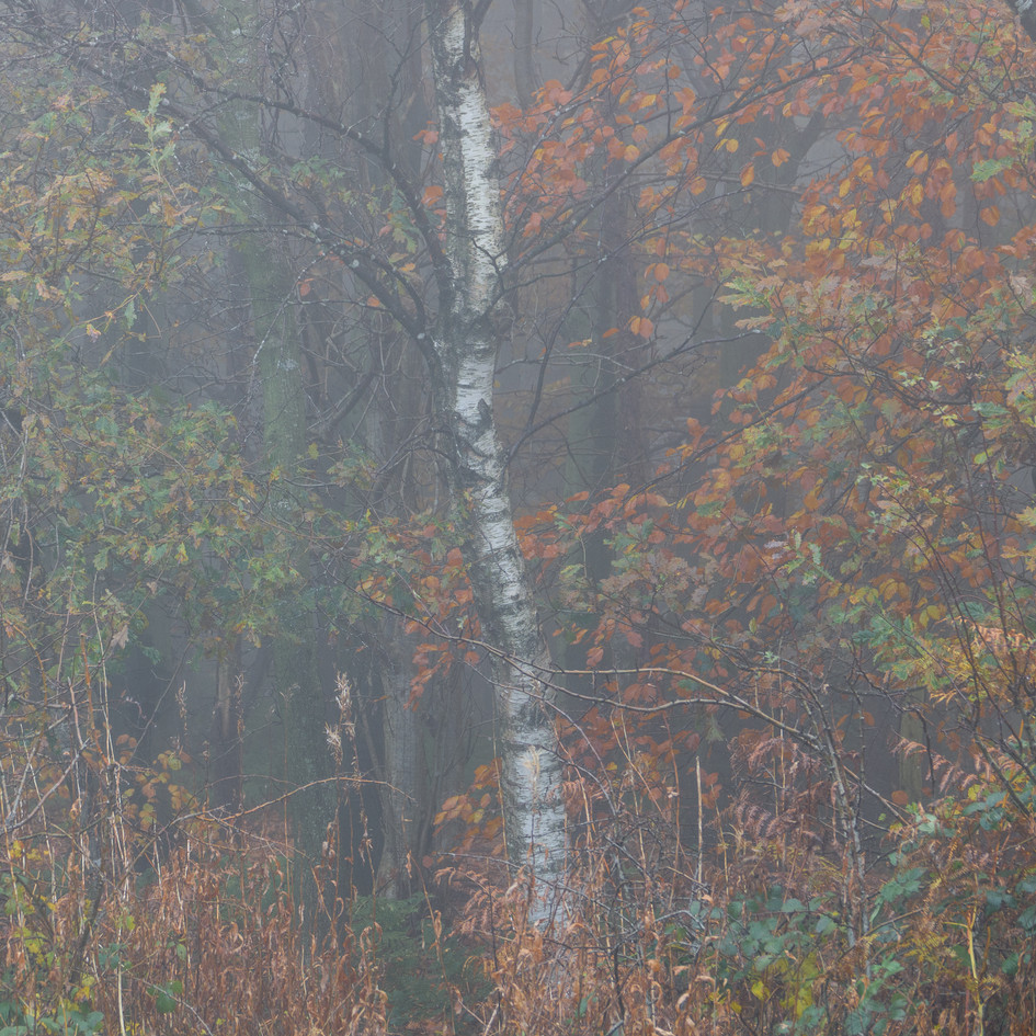 Birch,copper leaves and mist