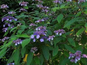 Hortensia 2 - Hydrangea Aspera Villosa