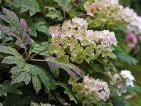 Hortensia 5 - Hydrangea Quercifolia