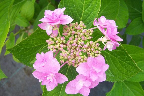 Hortensia 1 - Hydrangea Macrofilia Jogasaki