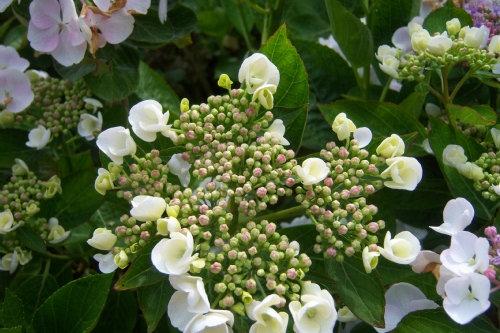 Hortensia 3 - Hydrangea Macrophylla Libelle