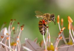 abeillePistils