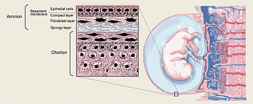 Placental Layers.png