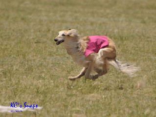 AKC Changes to Eligibility to Judge Coursing Ability Tests (CAT)