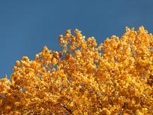 Cottonwood Sky