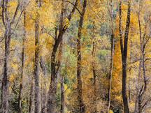 Durango Cottonwoods