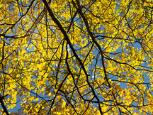 Cottonwood Blue Black and Gold