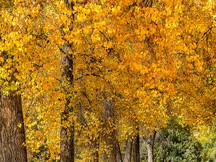 Cottonwood Black and Gold VI