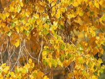 _Cottonwood Closeup