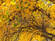 Cottonwood Black and Gold IV