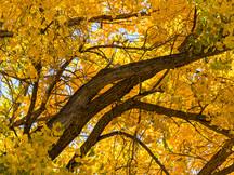 Cottonwood Black and Gold I