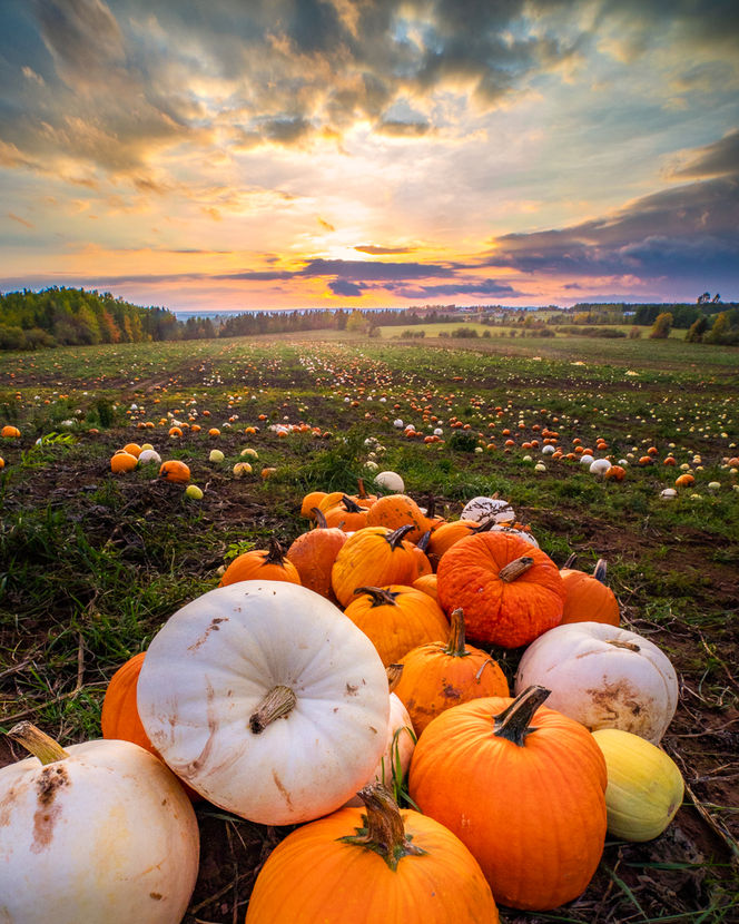 Pumpkin Fields Forever