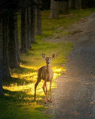Whitetail Deer in Nova Scotia