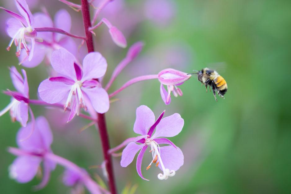 Tri-coloured Bumble Bee