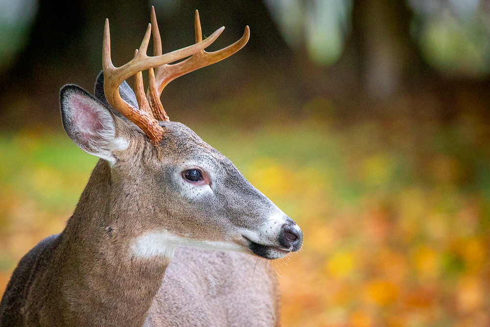 Deer buck in the fall