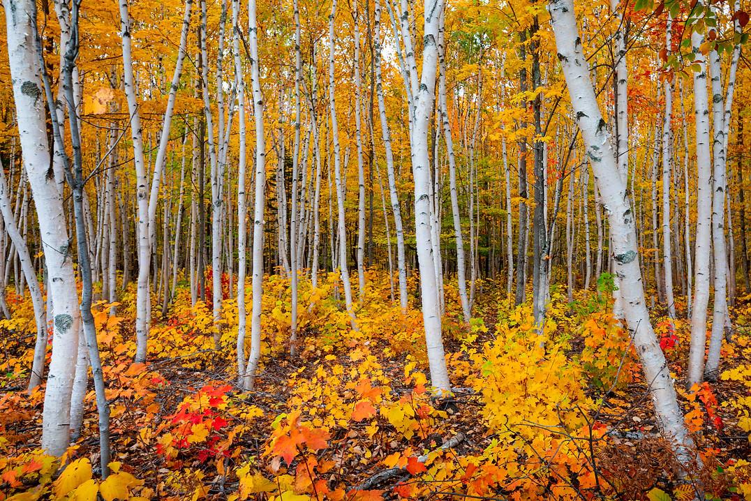yellow-forest.jpg