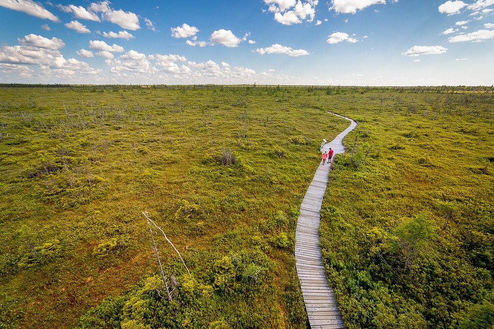 A boardwalk trail in the middle of a bog