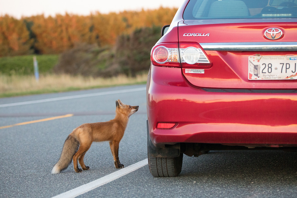 a fox stands next to a car, begging the driver for food.