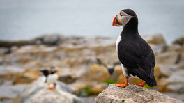 Puffins Galore: Photography Excursion to Machias Seal Island