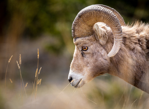 Photographing Bighorn Sheep with the Sigma 60-600mm Sports lens