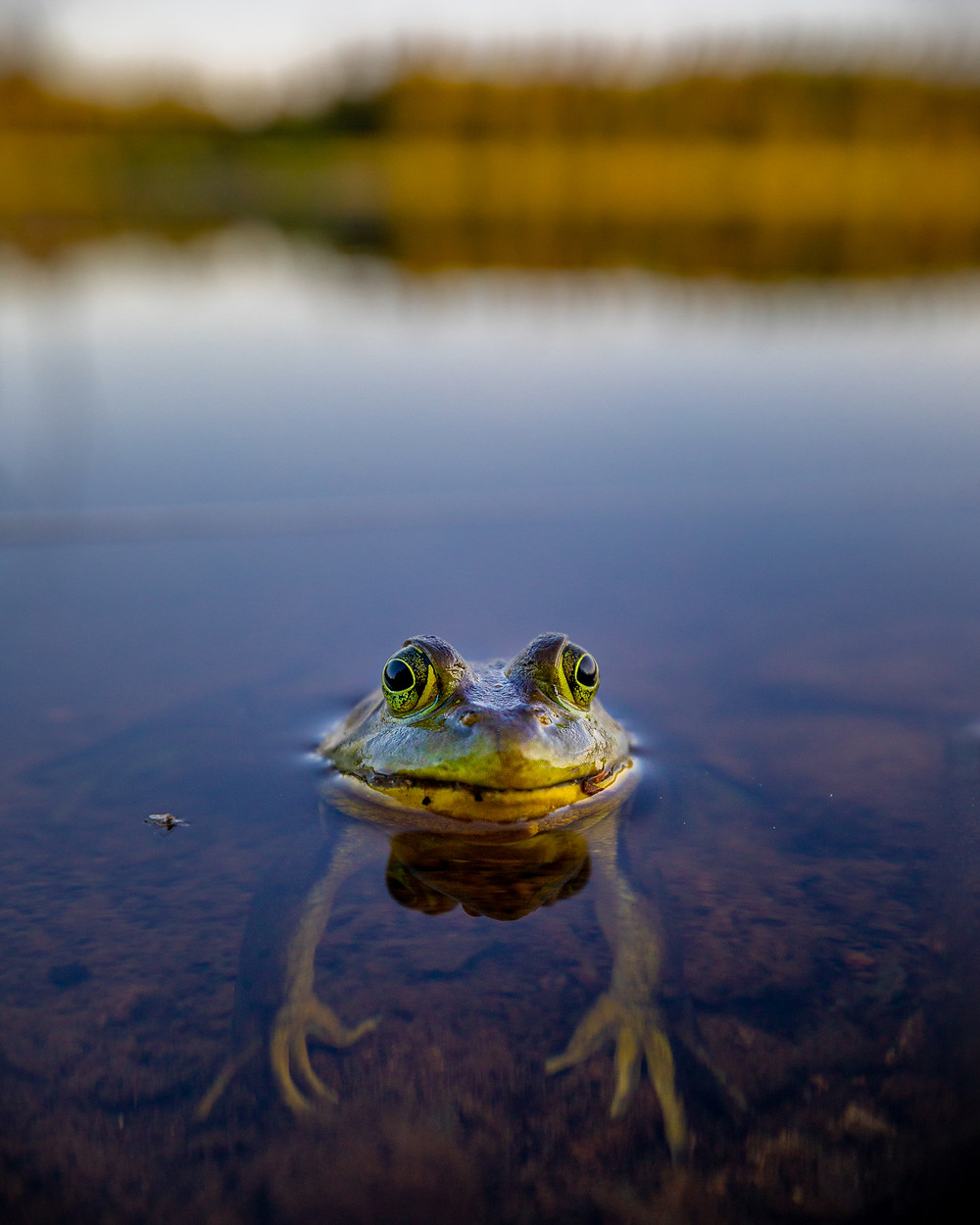 A close up shot of a green frog in a lake. The frog is looking straight at the camera.
