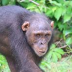 Queliba - Adult female chimpanzee