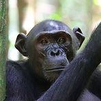 Arnold - Adolescent male chimpanzee