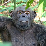 Freddy - Adult male chimpanzee