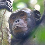 Ngonde - Adult male chimpanzee