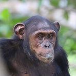 Cesar - Juvenile male chimpanzee