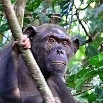 Joy - Adult female chimpanzee