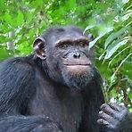 Thea - Adult male chimpanzee