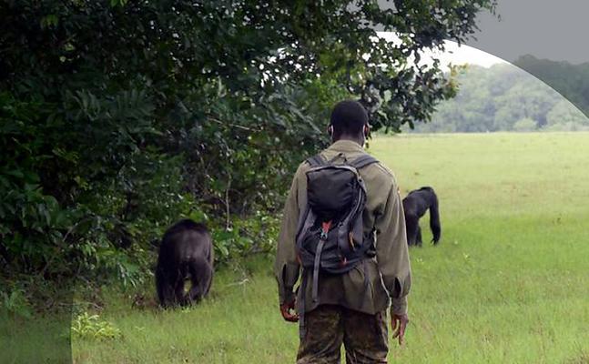 Die Beobachtung der Schimpansen...