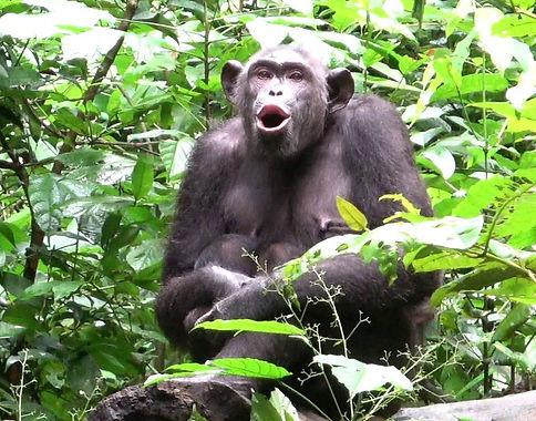 Kommunikation von Schimpansen