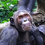 Chinois - Adult male chimpanzee