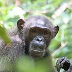 Mimi - Adult female chimpanzee
