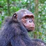 Chenge - Adult male chimpanzee