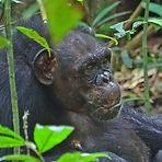 Suzee - Adult female chimpanzee