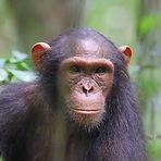 Moana - Juvenile male chimpanzee