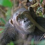 Ida - Adult female chimpanzee