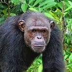 Pandi - Adult male chimpanzee
