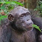 Roxy - Adult female chimpanzee