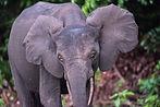 Ein neugieriges Elefanten-Junges auf Entdeckungstour.