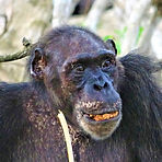 Onome - Adult female chimpanzee