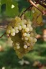 220px-Chardonnay_raisin_cherves.jpg
