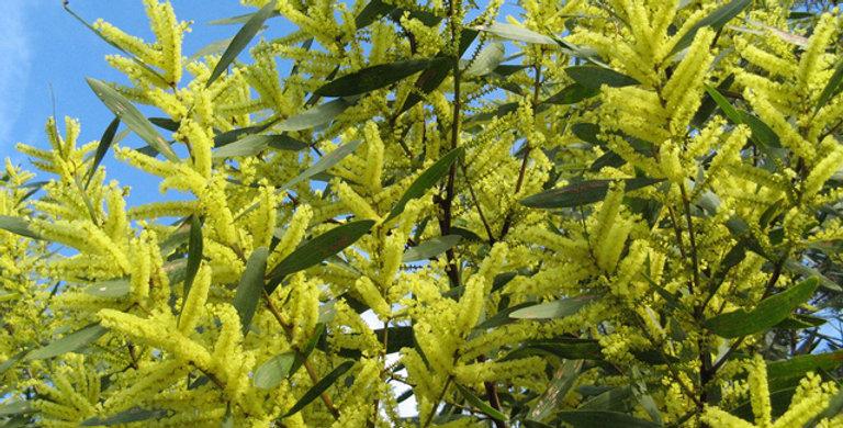 MIMOSA Longifolia