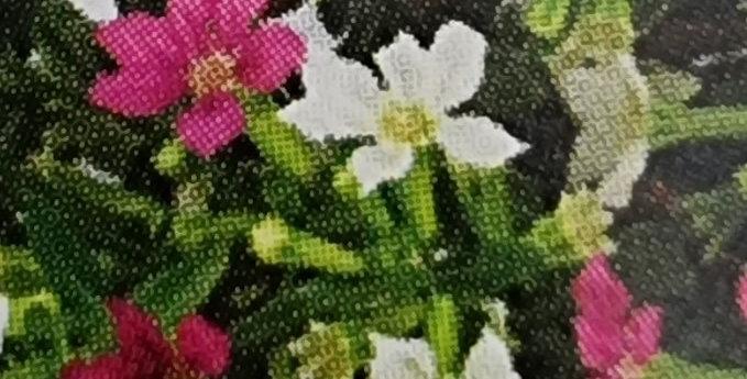 CUPHEA Bicolor