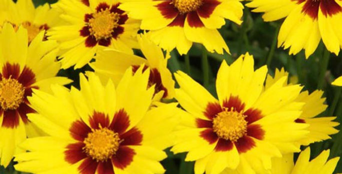 COREOPSIS Grand Sunkiss